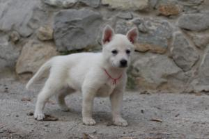 White-Shepherd-Puppies-BTWW-Sparta-036