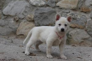White-Shepherd-Puppies-BTWW-Sparta-044