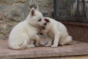 White-Shepherd-Puppies-BTWW-Sparta-072