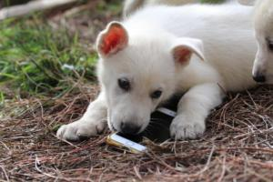 White-Shepherd-Puppies-BTWW-Spartans-346