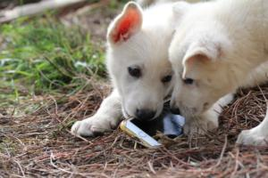 White-Shepherd-Puppies-BTWW-Spartans-347