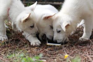 White-Shepherd-Puppies-BTWW-Spartans-348