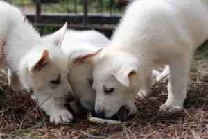 White-Shepherd-Puppies-BTWW-Spartans-349