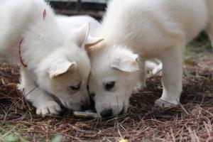 White-Shepherd-Puppies-BTWW-Spartans-350