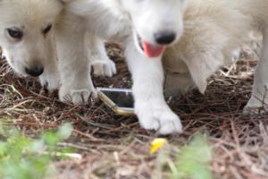 White-Shepherd-Puppies-BTWW-Spartans-351