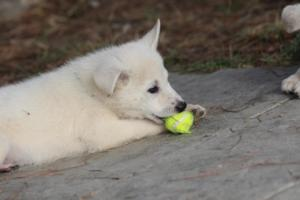 White-Shepherd-Puppies-BTWW-Spartans-359
