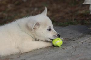 White-Shepherd-Puppies-BTWW-Spartans-360