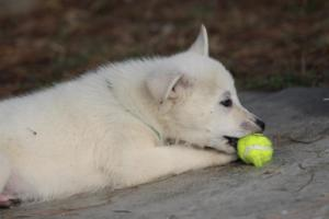 White-Shepherd-Puppies-BTWW-Spartans-361