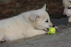 White-Shepherd-Puppies-BTWW-Spartans-362