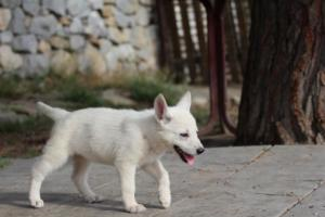 White-Shepherd-Puppies-BTWW-Spartans-371
