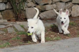 White-Shepherd-Puppies-BTWW-Spartans-374