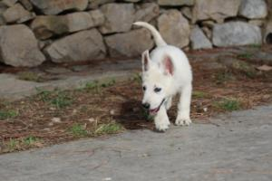 White-Shepherd-Puppies-BTWW-Spartans-375