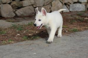 White-Shepherd-Puppies-BTWW-Spartans-376
