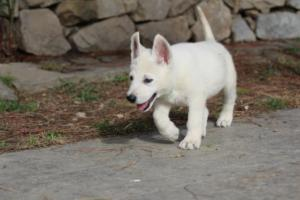 White-Shepherd-Puppies-BTWW-Spartans-377