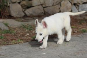 White-Shepherd-Puppies-BTWW-Spartans-378