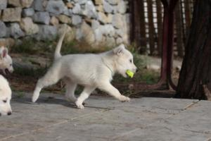 White-Shepherd-Puppies-BTWW-Spartans-388
