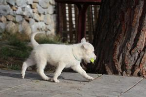 White-Shepherd-Puppies-BTWW-Spartans-389