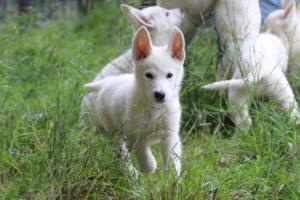 White-Shepherd-Puppies-BTWW-Spartans-01112019001