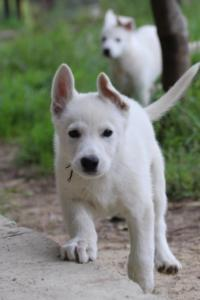 White-Shepherd-Puppies-BTWW-Spartans-01112019005