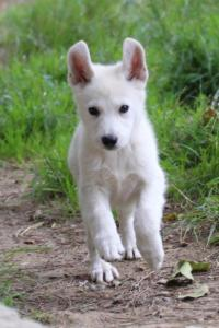 White-Shepherd-Puppies-BTWW-Spartans-01112019006