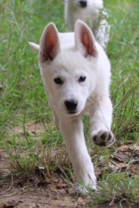 White-Shepherd-Puppies-BTWW-Spartans-01112019011