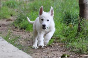 White-Shepherd-Puppies-BTWW-Spartans-01112019013