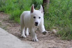 White-Shepherd-Puppies-BTWW-Spartans-01112019014