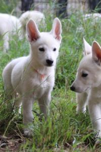 White-Shepherd-Puppies-BTWW-Spartans-01112019015