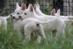 White-Shepherd-Puppies-BTWW-Spartans-01112019016