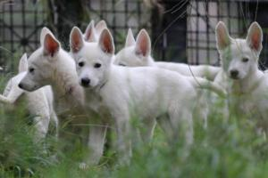 White-Shepherd-Puppies-BTWW-Spartans-01112019018