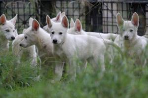 White-Shepherd-Puppies-BTWW-Spartans-01112019019