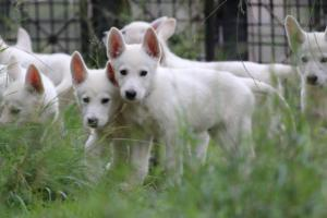 White-Shepherd-Puppies-BTWW-Spartans-01112019021