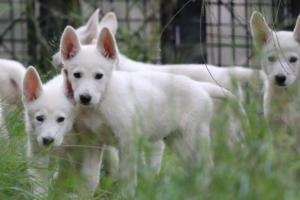White-Shepherd-Puppies-BTWW-Spartans-01112019022