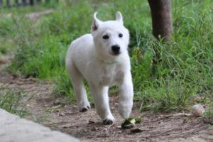 White-Shepherd-Puppies-BTWW-Spartans-01112019023
