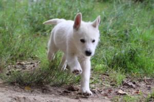 White-Shepherd-Puppies-BTWW-Spartans-01112019024
