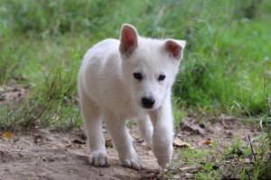 White-Shepherd-Puppies-BTWW-Spartans-01112019025