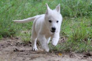White-Shepherd-Puppies-BTWW-Spartans-01112019026