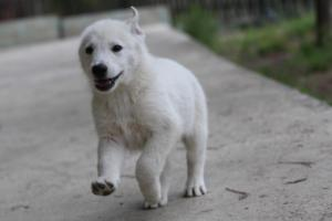 White-Shepherd-Puppies-BTWW-Spartans-01112019027