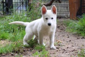 White-Shepherd-Puppies-BTWW-Spartans-01112019028