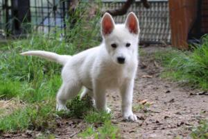 White-Shepherd-Puppies-BTWW-Spartans-01112019029