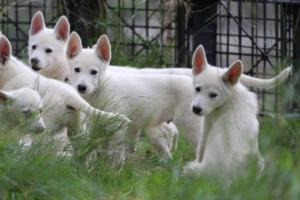 White-Shepherd-Puppies-BTWW-Spartans-01112019030