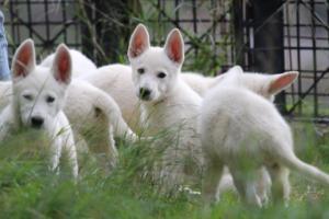 White-Shepherd-Puppies-BTWW-Spartans-01112019031
