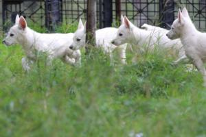 White-Shepherd-Puppies-BTWW-Spartans-01112019034