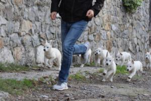 White-Shepherd-Puppies-BTWW-Spartans-05112019019