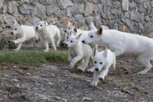 White-Shepherd-Puppies-BTWW-Spartans-05112019020