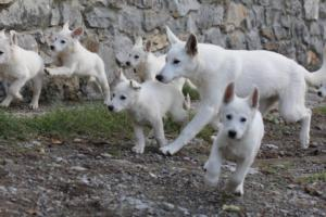 White-Shepherd-Puppies-BTWW-Spartans-05112019021