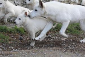 White-Shepherd-Puppies-BTWW-Spartans-05112019022
