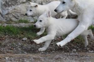 White-Shepherd-Puppies-BTWW-Spartans-05112019023