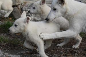 White-Shepherd-Puppies-BTWW-Spartans-05112019024