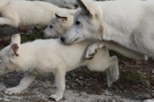 White-Shepherd-Puppies-BTWW-Spartans-05112019025